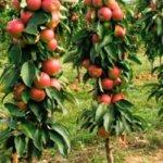 Колоновидное дерево: достоинства и недостатки
