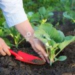 Уход за капустой после высаживания — подкормка и защита от насекомых