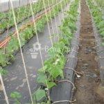 Выращиваем огурцы под пленкой — экономим время и воду