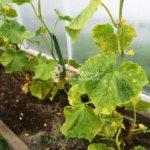 Желтеют листья огурцов — используйте народные средства