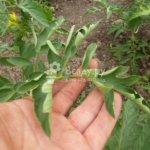 Скручиваются и вянут листья у помидор — ищем и устраняем причину