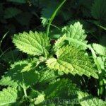 Как сделать удобрение из крапивы и подкармливать им растения
