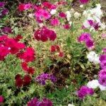 Как вырастить однолетние флоксы из семян