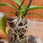 Вянет и не цветет орхидея — срочно меняйте субстрат и пересаживайте