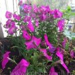 Можно ли вырастить петунию из семян на балконе?