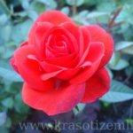 Болезни роз: признаки и лечение