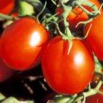 Как вырастить томаты по методу Маслова. В пять раз больше плодов с куста!